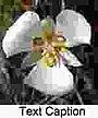 Sego lily cm-150.jpg