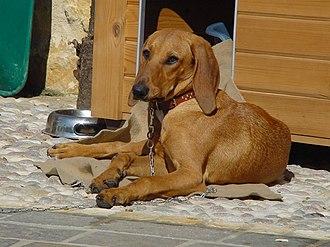 Segugio Italiano - Shorthaired Italian Hound