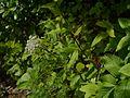 Selinum wallichianum (7813953030).jpg
