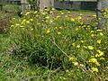 Senecio madagascariensis plant5 (15520989464).jpg