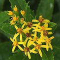Senecio nemorensis (flower s3).JPG