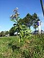 Senecio sarracenicus sl50.jpg