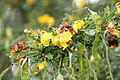 Senna polyphylla 18zz.jpg