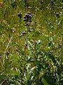 Serratula tinctoria ssp macrocephala 001.jpg