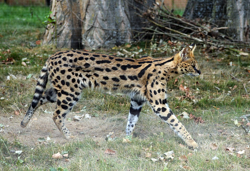 « Serval (Zoo Amiens) Splash » par Thierry80 — Travail personnel. Sous licence CC BY-SA 4.0 via Wikimedia Commons - https://commons.wikimedia.org/wiki/File:Serval_(Zoo_Amiens)_Splash.JPG#/media/File:Serval_(Zoo_Amiens)_Splash.JPG