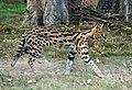 Serval (Zoo Amiens) Splash.JPG