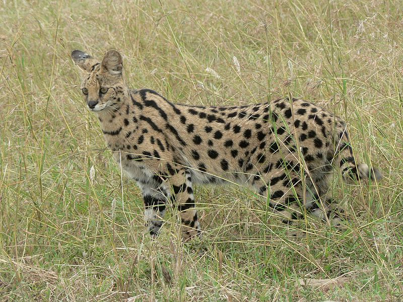 http://upload.wikimedia.org/wikipedia/commons/thumb/6/6d/Serval_in_Tanzania.jpg/800px-Serval_in_Tanzania.jpg
