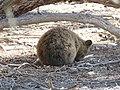 Setonix brachyurus (39991861971).jpg