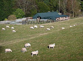 Sheep at Bridgelands (geograph 3238214).jpg