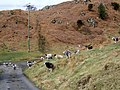 Sheep near Greenholme Farm - geograph.org.uk - 1800945.jpg