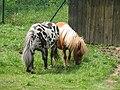 Shetland.pony-04-Castolovice.jpg