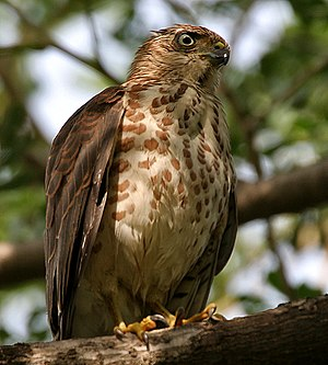 Accipitridae - Shikra Accipiter badius in Hyderabad, India