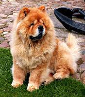 سگ چاو چاو ویکی پدیا