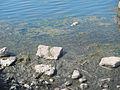 Shoreline muck in Lake St. Clair (8740852855).jpg