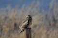 Short-eared owl at SNWR (28015628323).png