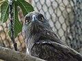 Short-toed Eagle 08.jpg