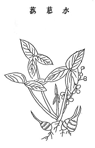 Jiuhuang Bencao - Shuicigu or arrowhead plant illustration from the 1639 Nongzheng quanshu edition of Jiuhuang bencao