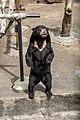 Si beruang madu yang lucu DSC 2347.jpg