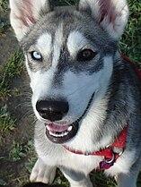 Siberian Husky-001.jpg