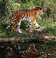 Sibirischer Tiger Panthera tigris altaica Tierpark Hellabrunn-11.jpg