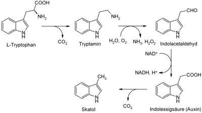 Biosynthese von Skatol: Skatol aus Tryptophan