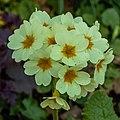 Sleutelbloem (Primula vernis). 31-03-2020. (actm.) 01.jpg