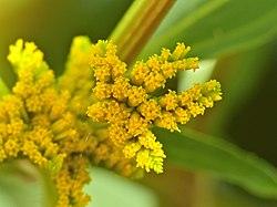 Smelters Bush (Flaveria bidentis) close-up (13741736383).jpg