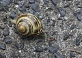 Snail on a stone.JPG