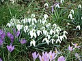 Snowdrop and Crocus - geograph.org.uk - 1739191.jpg