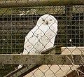 Snowy Owl. Bubo scandiacus (32754359838).jpg