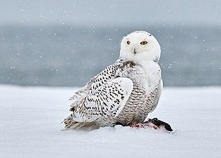 Snowy owl species of bird