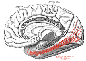 Inferior longitudinal fasciculus - Medial surface of right cerebral hemisphere. Some of major association tracts are depicted. Inferior longitudinal fasciculus labeled at bottom right, in red.