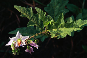Branch and flowers of Solanum carolinense