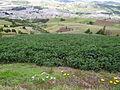 Solanum tuberosum cultivo Boyacá.JPG