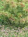 Sorbus sp (21391027385).jpg