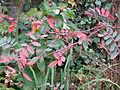 Sorbus sp autumn foliage - Flickr - peganum.jpg