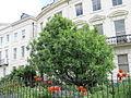 Sorbus torminalis (Wild Service Tree).jpg