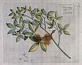Source of Lopez Root (Toddalia asiatica Lam.); branch with f Wellcome V0042646.jpg