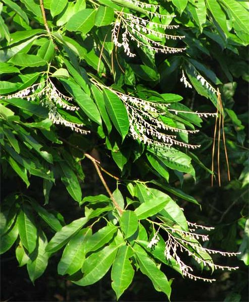 File:Sourwood leaves and flowers.jpg
