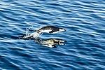 South Shetland-2016-Deception Island–Chinstrap penguin (Pygoscelis antarctica) 01.jpg