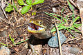Southern Alligator Lizard Threat Display.jpg