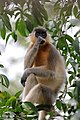 Southern plains gray langur, Satchari National Park (01).jpg