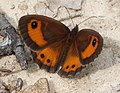 Spanish Gatekeeper male. Pyronia bathseba (32273907362).jpg