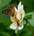 Speckled Wood Butterfly, and a fly! (7780045366).jpg