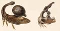 Sphongophorus.png