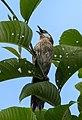 Spiny Babbler Cropped.jpg