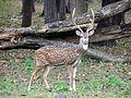 Spotted Deer Stag.jpg