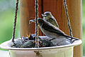 Spotted Flycatchers III 682916120.jpg