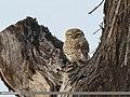 Spotted Owlet (Athene brama) (34404838811).jpg