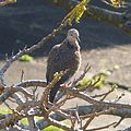 Spotted Turtle-Dove. Streptopelia chinensis - Flickr - gailhampshire.jpg